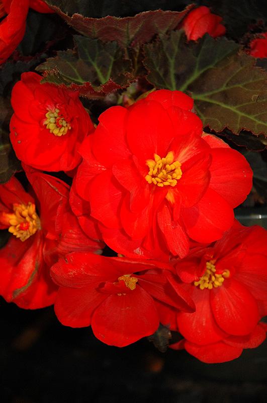 Nonstop Mocca Scarlet Begonia At Chalet Nursery