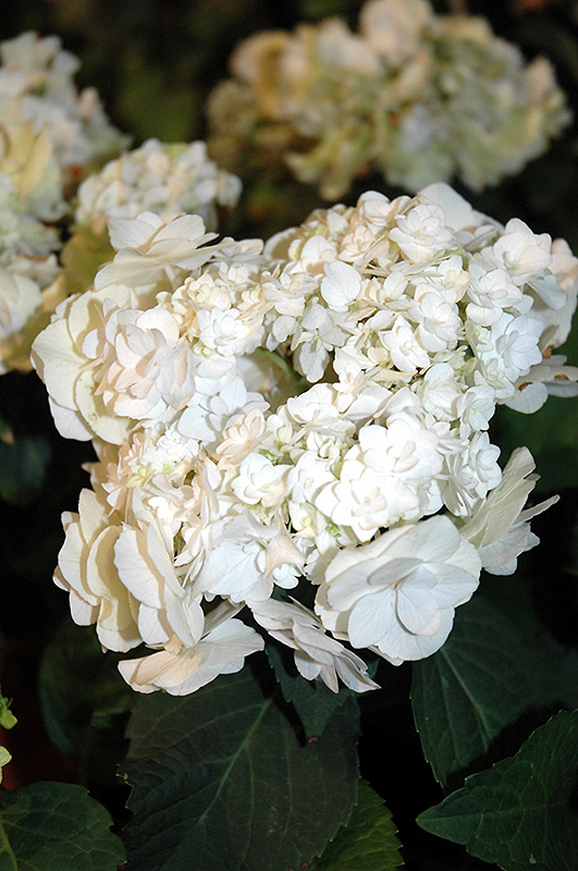 Wedding Gown Hydrangea Macrophylla At Chalet Nursery