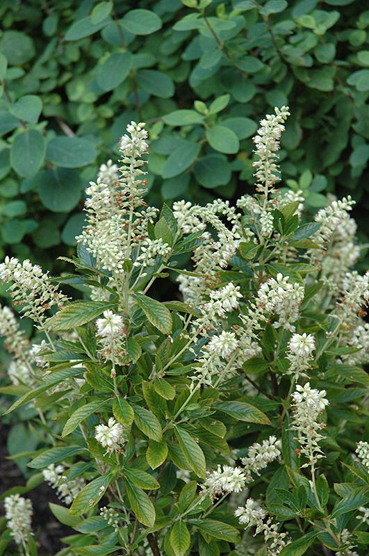 Clethra Alnifolia Pruning Clethra Alnifolia '