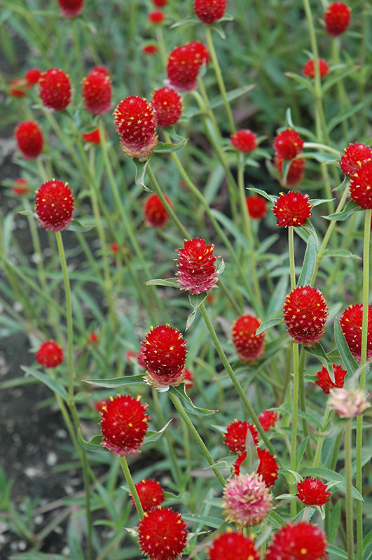 Qis Red Gomphrena Gomphrena Qis Red In Wilmette