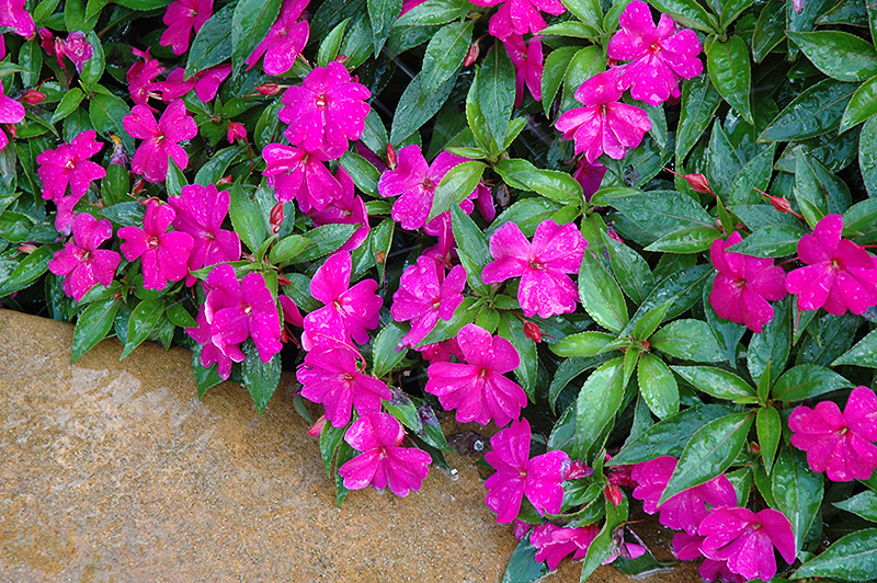 Divine violet new guinea impatiens impatiens 39 divine for New guinea impatiens