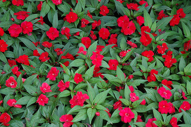 Divine cherry red new guinea impatiens impatiens 39 divine for New guinea impatiens