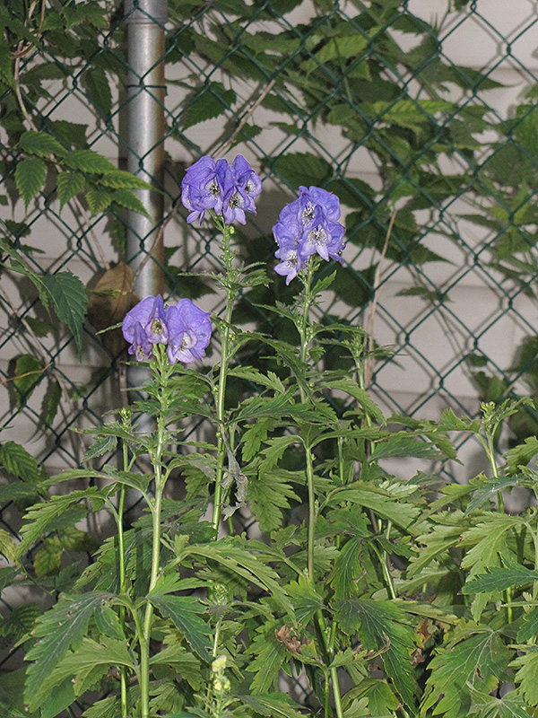 Autumn Monkshood Aconitum Carmichaelii Arendsii In Wilmette - Where does wolfsbane grow in the us map
