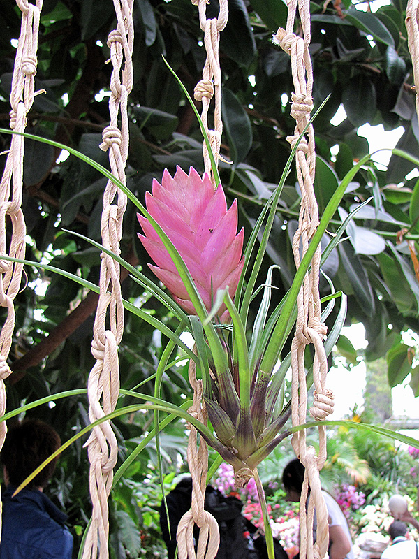 Tillandsia Cyanea Linden Ex K Koch: Pink Quill (Tillandsia Cyanea) In Wilmette Chicago