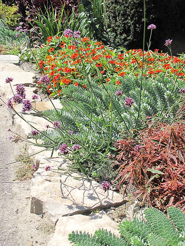 Tall Verbena Verbena bonariensis in Wilmette Chicago Evanston – Plant World Nursery and Garden Center