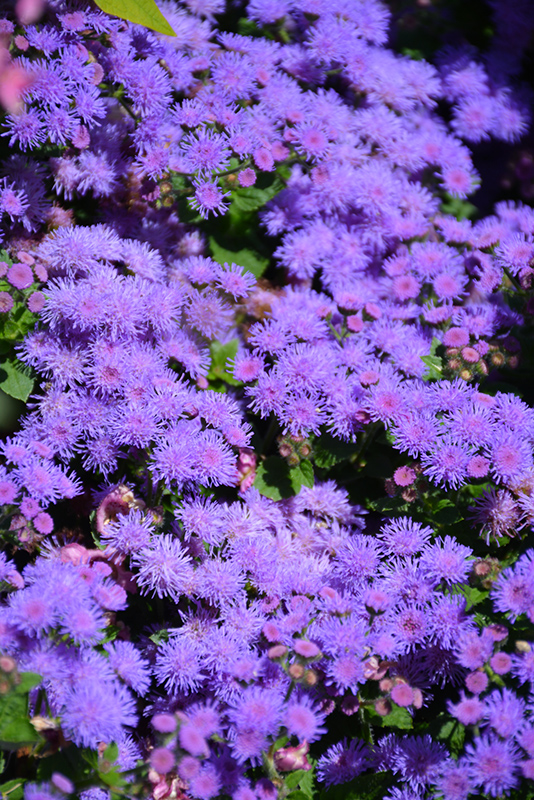 Artist Blue Flossflower Ageratum Artist Blue In Wilmette Chicago Evanston Glenview Skokie Winnetka Illinois Il At Chalet Nursery