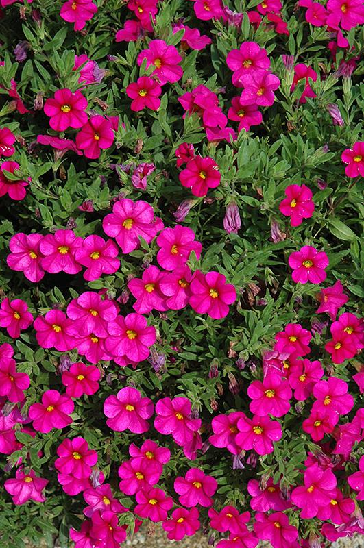 Chalet Nursery And Garden Center: Callie Rose Calibrachoa (Calibrachoa 'Callie Rose') In