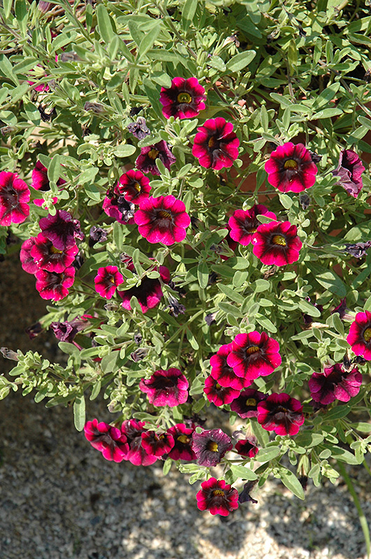 Superbells blackberry punch calibrachoa calibrachoa - Calibrachoa superbells ...