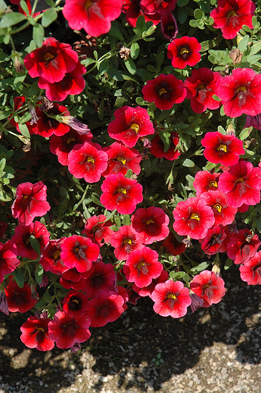 Superbells pomegranate punch calibrachoa calibrachoa - Calibrachoa superbells ...