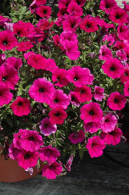 Potunia Plus Purple Petunia (Petunia 'Potunia Plus Purple ...
