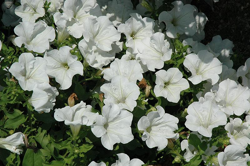 Surfinia White Petunia Petunia Surfinia White In Wilmette