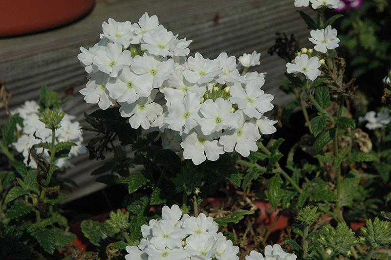 Aztec White Verbena (Verbena 'Aztec White') in Wilmette ...