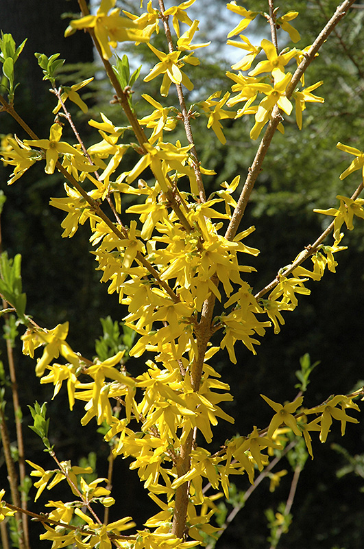 Meadowlark Forsythia At Chalet Nursery