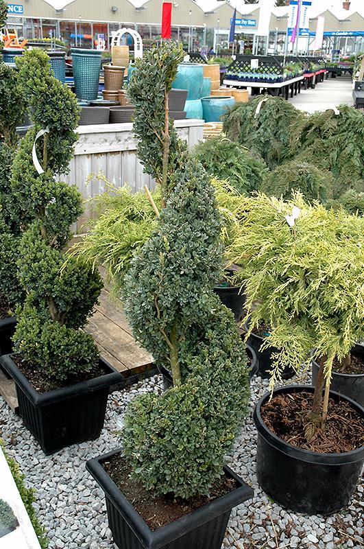Chalet Nursery And Garden Center: Green Mountain Boxwood (spiral Form) (Buxus 'Green