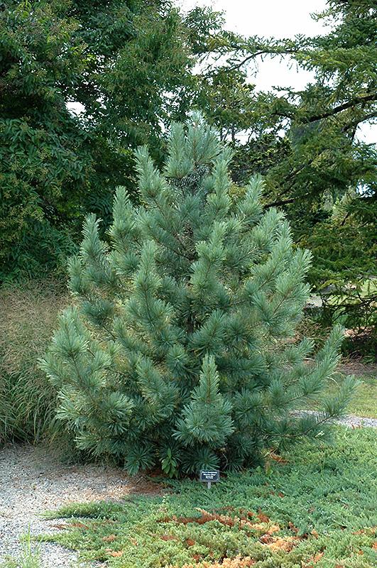 Morris Blue Korean Pine Pinus Koraiensis Morris Blue In Wilmette Chicago Evanston Glenview