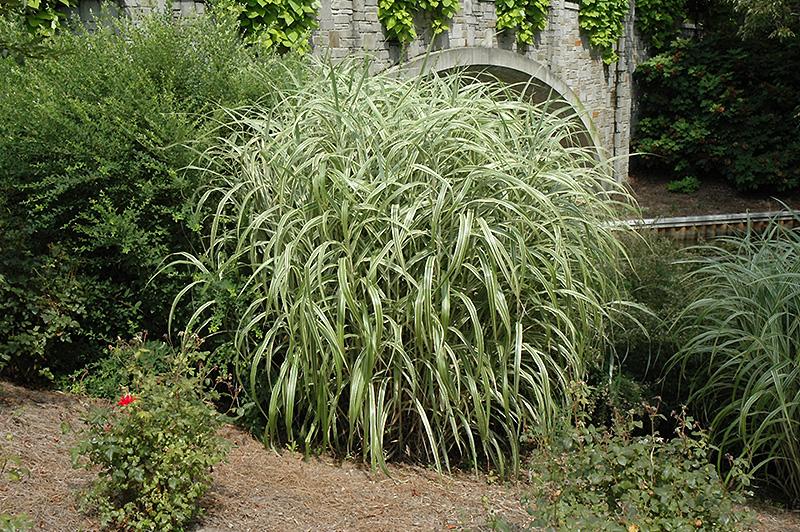 Cabaret maiden grass miscanthus sinensis cabaret in wilmette cabaret maiden grass workwithnaturefo