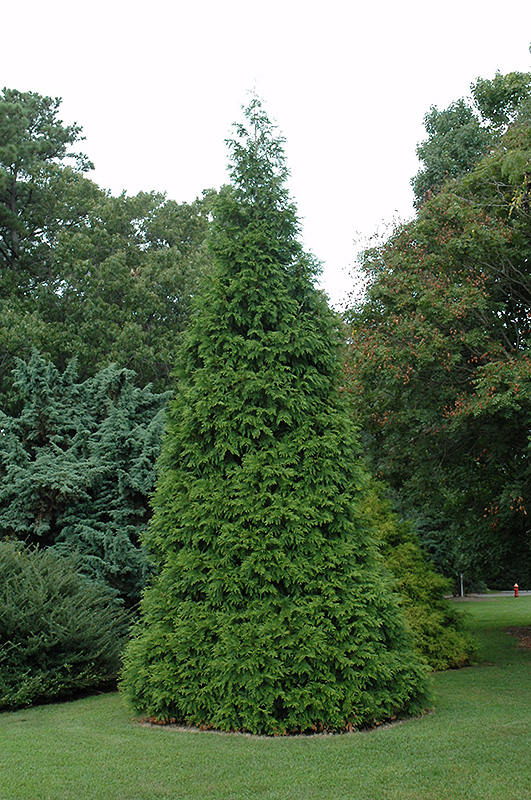 Green giant arborvitae thuja 39 green giant 39 in wilmette for Green giant arborvitae