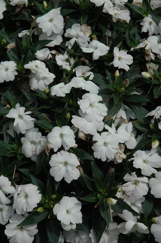 SunPatiens® Compact White New Guinea Impatiens (Impatiens ... White Impatiens Flowers
