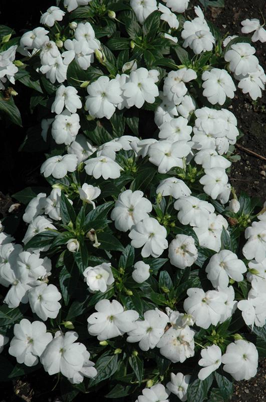 Florific White New Guinea Impatiens (Impatiens hawkeri ... White Impatiens Flowers