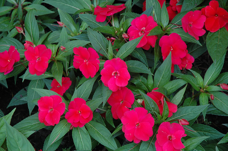 Divine cherry red new guinea impatiens impatiens hawkeri for New guinea impatiens