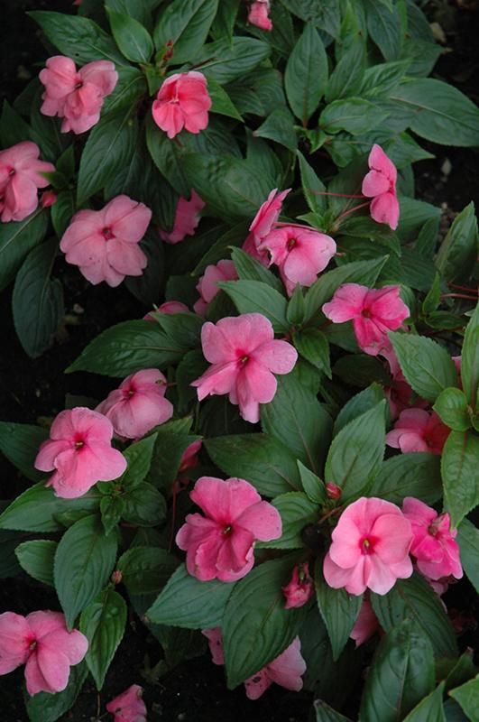 Divine Pink New Guinea Impatiens Impatiens Hawkeri Divine Pink