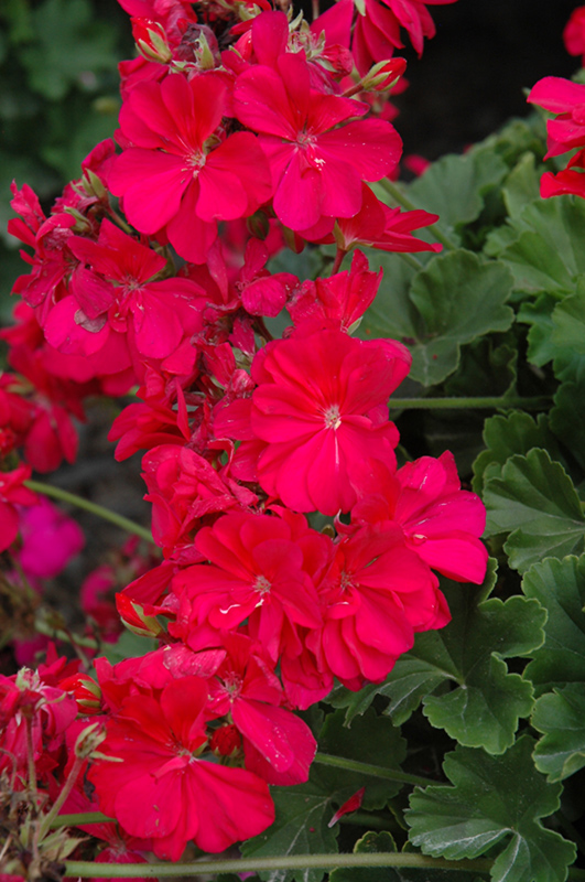 Calliope hot pink geranium pelargonium calliope hot pink in calliope hot pink geranium pelargonium calliope hot pink at chalet nursery mightylinksfo