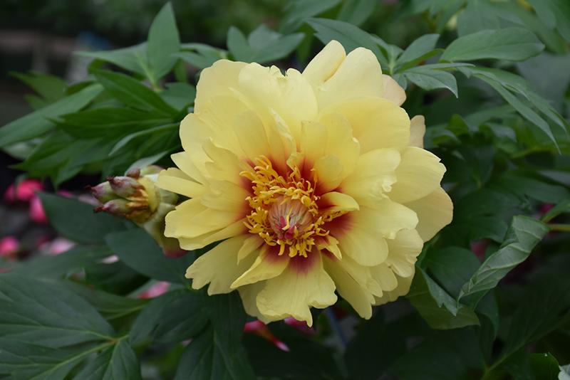 Misaka Peony Paeonia Beautiful Blossom In Wilmette Chicago