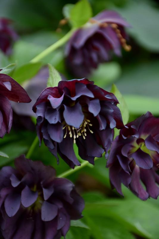 Onyx Odyssey Hellebore Helleborus At Chalet Nursery Flowers
