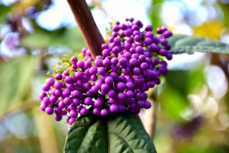 Profusion Beautyberry Callicarpa Bodinieri At Chalet Nursery
