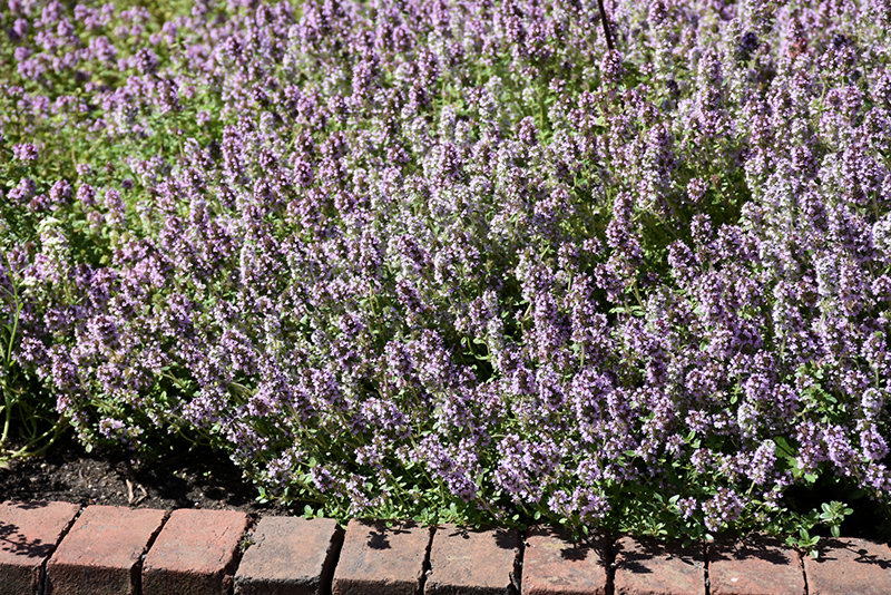Common Thyme Thymus Vulgaris At Chalet Nursery