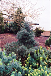 Weeping White Fir (Abies concolor 'Pendula') at Chalet Nursery