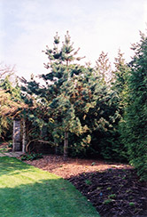 Vanderwolf's Pyramid Pine (Pinus flexilis 'Vanderwolf's Pyramid') at Chalet Nursery