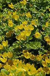 Creeping Jenny (Lysimachia nummularia) at Chalet Nursery