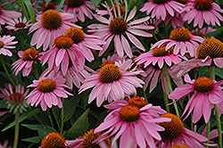 Magnus Coneflower (Echinacea purpurea 'Magnus') at Chalet Nursery