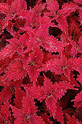 Stained Glass Copper Coleus (Solenostemon scutellarioides 'Stained Glass Copper') at Chalet Nursery