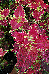 Tiger Lily Coleus (Solenostemon scutellarioides 'Tiger Lily') at Chalet Nursery