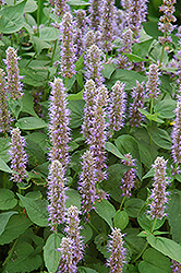 Blue Fortune Anise Hyssop (Agastache 'Blue Fortune') at Chalet Nursery