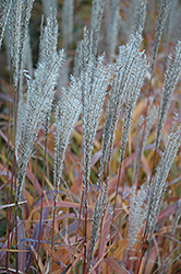 Flame Grass (Miscanthus sinensis 'Purpurascens') at Chalet Nursery