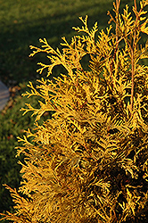 Yellow Ribbon Arborvitae (Thuja occidentalis 'Yellow Ribbon') at Chalet Nursery