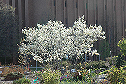 Autumn Brilliance Serviceberry (Amelanchier x grandiflora 'Autumn Brilliance') at Chalet Nursery