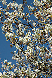Princess Diana Serviceberry (Amelanchier x grandiflora 'Princess Diana') at Chalet Nursery