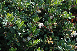 Massachusetts Bearberry (Arctostaphylos uva-ursi 'Massachusetts') at Chalet Nursery