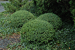 Northern Charm Boxwood (Buxus 'Wilson') at Chalet Nursery
