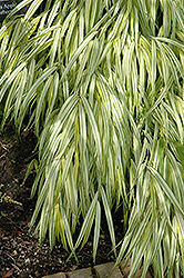 Golden Variegated Hakone Grass (Hakonechloa macra 'Aureola') at Chalet Nursery