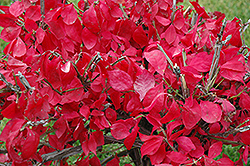 Compact Winged Burning Bush (Euonymus alatus 'Compactus') at Chalet Nursery
