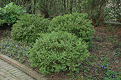 Wintergreen Korean Boxwood (Buxus microphylla 'Wintergreen') at Chalet Nursery