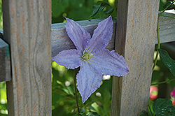 Blue Angel Clematis (Clematis 'Blue Angel') at Chalet Nursery