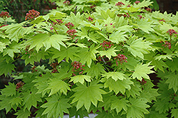 Golden Full Moon Maple (Acer shirasawanum 'Aureum') at Chalet Nursery