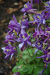 Biedermeier Blue Columbine (Aquilegia 'Biedermeier Blue') at Chalet Nursery