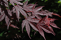 Crimson Prince Japanese Maple (Acer palmatum 'Crimson Prince') at Chalet Nursery
